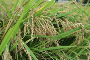 収穫もち米
